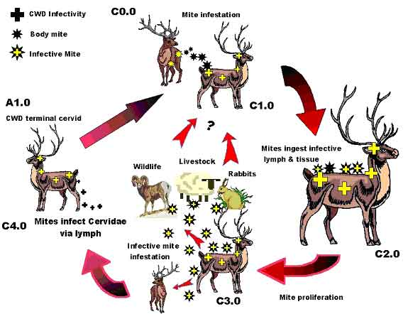 chronic wasting disease in deer Chronic wasting disease what is chronic wasting disease (cwd) cwd is a neurological (brain and nervous system) disease of deer and elk, caused by an abnormal form of a protein called a prion  the slow accumulation of abnormal prions in the brain and lymphatic tissues ultimately results in death.